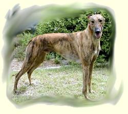 greyhound_1